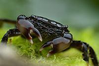 Marbled Rock Crab  (Pachygrapsus marmoratus) Southwest Alentejo and Vicentine Coast Natural Park, Portugal