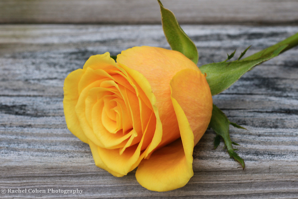 """""""Yellow Rose of Texas""""<br /> <br /> A single yellow rose on a rustic wooden table!!<br /> <br /> Flowers by Rachel Cohen"""