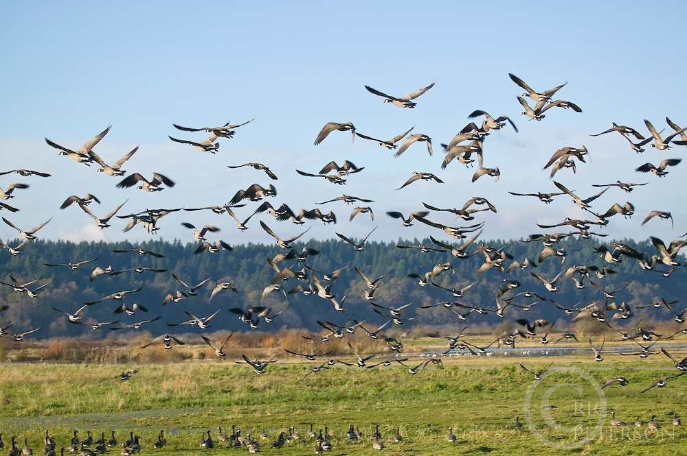 geese taking flight during fall migration from Nisqually Delta in Washington State