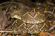 Neotropical Rattlesnake (Crotalus durissus) photographed in the jungle in Mato Grosso do Sul, Brazil