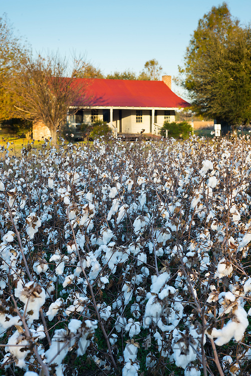 Cotton crop, Gossypium hirsutum, growing in plantation at Frogmore Farm in the Deep South, Ferriday, Louisiana, USA