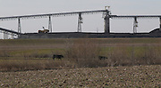 022312tvgrazing.Several cattle graze in a farm field near the Prairie State Energy Campus in Washington County, Illinois.  Behind them are slurry lines, that carry coal to power the plant..TIM VIZER/BELLEVILLE NEWS-DEMOCRAT