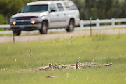 Black tailed Prairie Dog watch cars pass on a suburban street from their colony in Cheyenne, Wyoming.