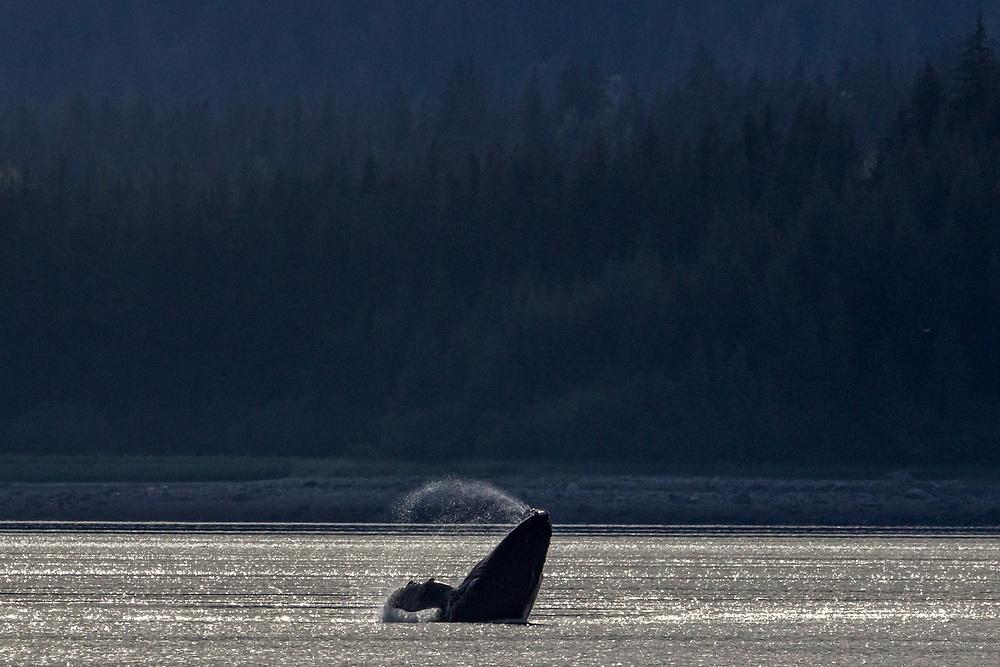Humpback breaching in Sitakaday Narrows, Glacier Bay.