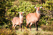 Female and calf Ellipsen Waterbuck (Kobus ellipsiprymnus) Waterbucks are large antelopes that are found near to water in the grasslands and savannahs of southeast Africa. They feed mainly on grasses but may take other plants. They live in large home ranges that are shared by many individual females, bachelor herds of non-territorial young males and territorial mature males. The waterbucks often jump into nearby water to escape their predators Photographed in Tanzania, Serengeti National Park