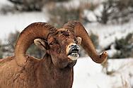 Battered Bighorn Sheep, Jackson Hole, Wyoming