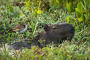 Capybara (Hydrochoerus hydrochaeris) & Wattled Jacana (Jacana jacana) juv.<br /> Northern Pantanal<br /> Mato Grosso<br /> Brazil