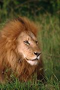 Male lion, Serengeti National Park Tanzania