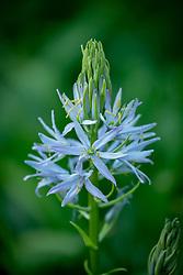 Camassia quamash 'Blue Melody' syn. Camassia leichtlinii 'Blue Melody'