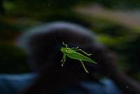 Katydid Bug. Image taken with a Nikon N1 V1 + FT1 + 70-300 VR lens (ISO 800, 98 mm, f/5.6, 1/320 sec) FOV ~265 mm with a 35 mm sensor.