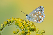 Adonis Blue Butterfly, Lysandra bellargus, United Kingdom, perched on flower, side view of wings