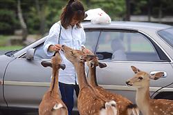 Feeding Sika Deer