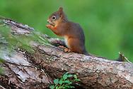 Eurasian red squirrel, Sciurus vulgaris, Järbo, Sweden