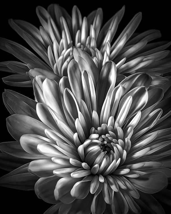 Soft Floral Petals Curve Upwards Arising From The Stark Black From An Abstact Vantage Point