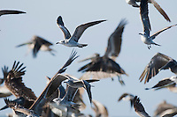 Laughing gulls, Larus atricilla, and brown pelicans, Pelecanus occidentalis, at the mouth of the Tarcoles River, Costa Rica