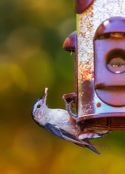 A White-Breasted Nuthatch grabs a safflower seed from a feeder