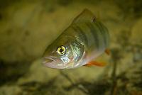 European perch (Perca fluviatilis) travel in small groups and is quite common in the Danube Delta, Romania.