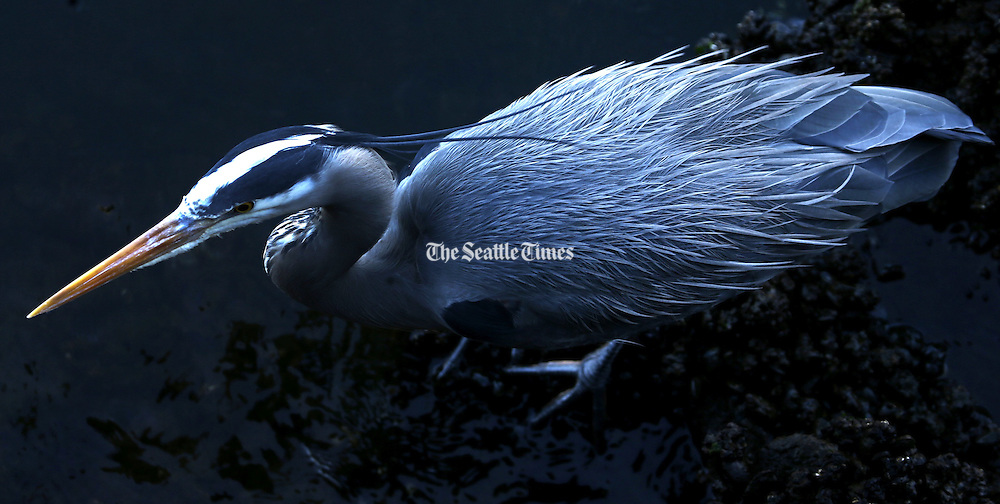 A great blue heron fishes at the Ballard Locks near some three dozen heron nests. <br /> <br /> Ken Lambert/The Seattle Times