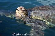 green sea turtle, Chelonia mydas, surfacing to breathe, Cayman Islands, British West Indies ( Western Caribbean Sea )