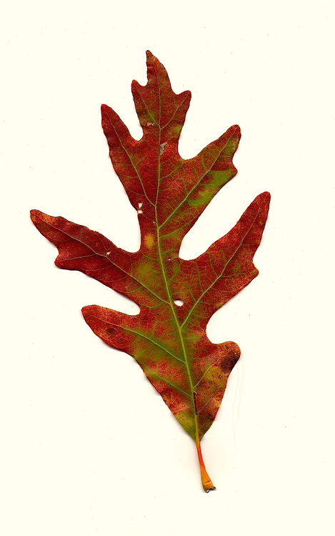 Fall leaf southeastern Ohio, White Oak.