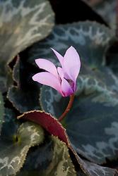 Cyclamen colchicum showing distinctive thick rimmed leaf edge
