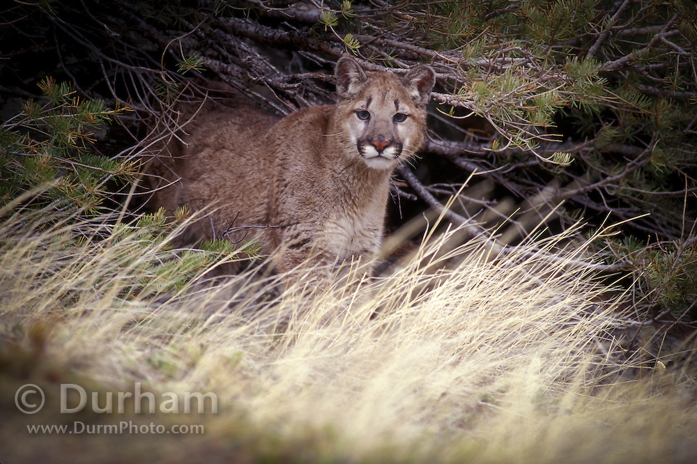 Juvenile female cougar (Felis Concolor) portrait. Range: North America - Canada south to South America.