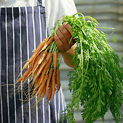 Chef Simon Rodgers holds a bunch of baby carrots at The Three Chimneys Restaurant, Colbost, Isle of Skye, Scotland. Carrots are among the wide selection of fresh vegetables that Anthony Hovey grows at Totaig, 2 miles from The Three Chimneys. Chef and director Michael Smith and his kitchen team, create dishes which reference Scotland's rich culinary heritage and wealth of ingredients. Their menus reflect the variety of Skye's natural larder from the land and sea.