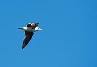 Western Gull, Larus occidentalis, flying over San Francisco Bay at Cesar Chavez Park, Berkeley, California