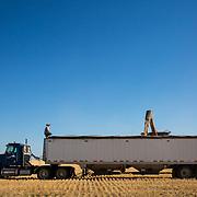 Regan Wolgemuth, 20, monitors the wheat as a combine dumps its load of grain into the semi truck. Kimball, Nebraska, July 2017.