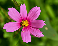 Cosmos. Image taken with a Fuji X-H1 camera and 80 mm f/2.8 macro lens