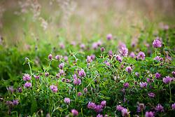 Red clover. Trifolium pratense