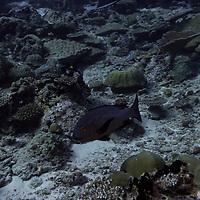 Black Snapper, Macolor niger (Forsskål, 1775), Maldives