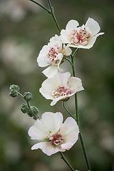 × Alcalthaea suffrutescens 'Parkallee' - Hollyhock.