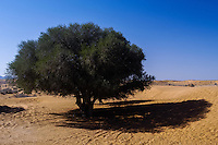 Argan tree. Desert landscape south of Agadir, Morocco.