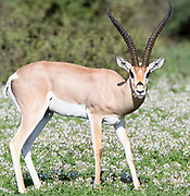 A Grant's gazelle (Nanger granti ) grazes in a patch of flowering plants. Sinya Wildlife Management Area, Tanzania.