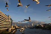 Flock of small seagulls swirling above the River Thames competing for food London, England, United Kingdom. These gulls are opportunistic birds hanging around the places where the most people are, and fight amongst themselves for anything on offer for free.