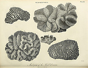 "19th century illustration of Madrepora (""mother of pores"") is a genus of stony corals, often found forming reefs or islands in tropical locations. The names Madrepore and Madreporaria were formerly applied universally to any stony coral of the family Scleractinia. They reproduce in three separate ways as discovered by the marine zoologist Anne Thynne (1800-1866).[2] It is commonly known as horn coral. colony is branched with small polyps in cylindrical cups separated by perforated coenosteum. Terminal polyp bear six tentacles, while lateral polyps bear tweve tentacles. Madrepora is economically important because it takes part in the formation of coral reefs. Copperplate engraving From the Encyclopaedia Londinensis or, Universal dictionary of arts, sciences, and literature; Volume XIV;  Edited by Wilkes, John. Published in London in 1816"