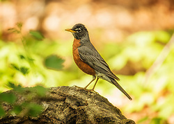 A robin side profile on an old log in the woods