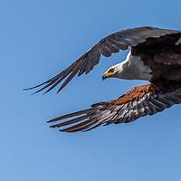 Fish Eagle at Chobe river, Botswana