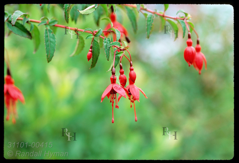 Scarlet branches heavy with fuchsia blossoms thrive on moist, temperate Iveragh Peninsula. Ireland