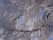 Cottonwood covered with thick hoarfrost following a night of ice fog, May, Pahsimeroi Valley, Idaho.