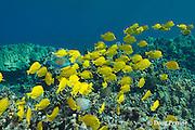 schooling yellow tangs, Zebrasoma flavescens, parrotfish, and butterflyfish swarm over shallow coral reef, Honaunau, Kona, Hawaii Island ( the Big Island ) Hawaiian Islands( Central Pacific Ocean )