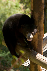 Pagi, the new sun bear that was introduced to the media Thursday, June 17, 2010 at the Oakland Zoo in Oakland, Calif., looks up from her play structure. (D. Ross Cameron/Staff)