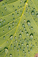 Water drops on green tree leaf
