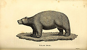 Polar Bear from General zoology, or, Systematic natural history Part I, by Shaw, George, 1751-1813; Stephens, James Francis, 1792-1853; Heath, Charles, 1785-1848, engraver; Griffith, Mrs., engraver; Chappelow. Copperplate Printed in London in 1800. Probably the artists never saw a live specimen