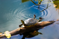 Florida Cooter catching some rays in Paynes Prairie State Park, Alachua County, Fl.