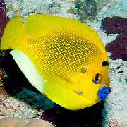 Threespot Angelfish inhabit reefs. Picture taken Fiji  Nigali Passage.
