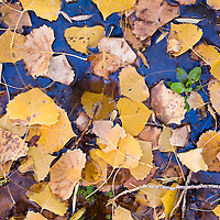 101912       Brian Leddy<br /> Fallen leaves collect in a stream of water near St. Michael's Indian School Friday as a small bit of lingering green pokes it's head through the surface. The giant cottonwood trees in the St. Michael's area are in the full sing of fall with glorious oranges and yellows.
