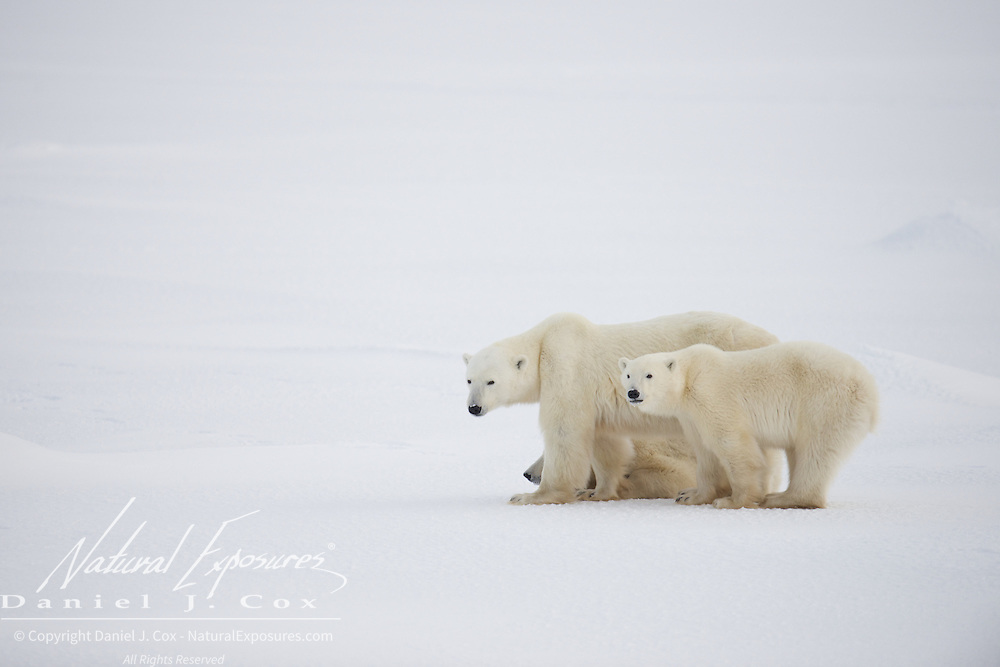 Polar bear, mother with two year old cubs. Cape Churchill, Hudson Bay, Manitoba.