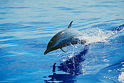 pantropical spotted dolphin calf, Stenella attenuata, jumping, Kona Coast, Big Island, Hawaii, USA, Pacific Ocean